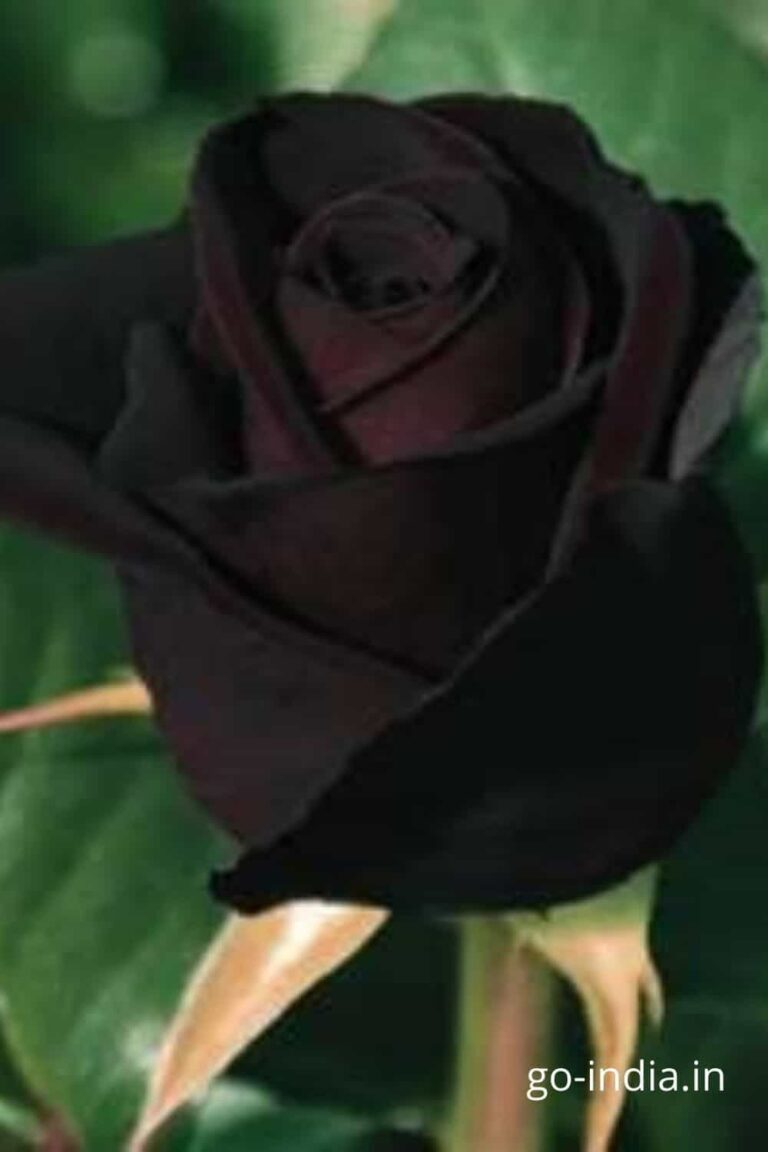 black rose with the HD quality black rose