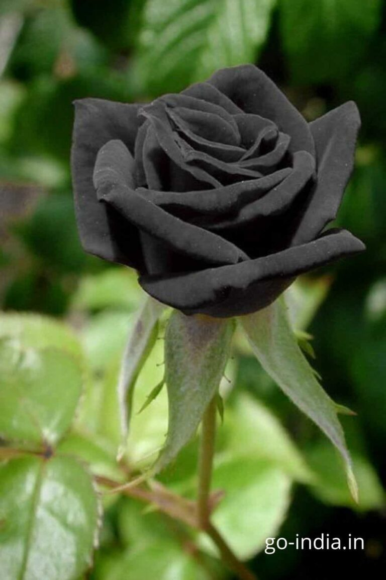 black rose with the light green leaves
