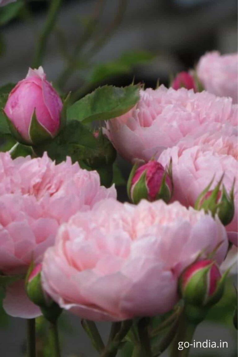 blommed pink rose image free download