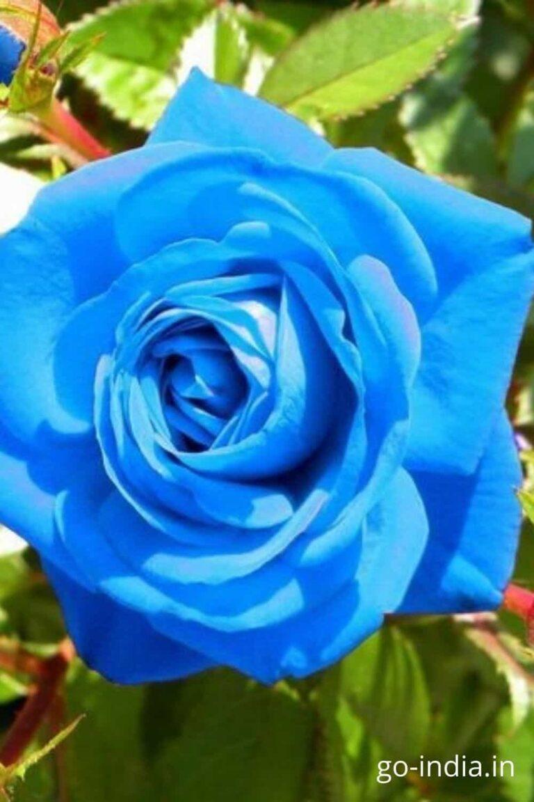 blue color rose image