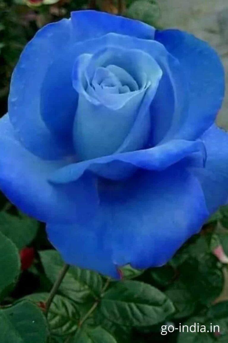 blue rose flower wallpaper