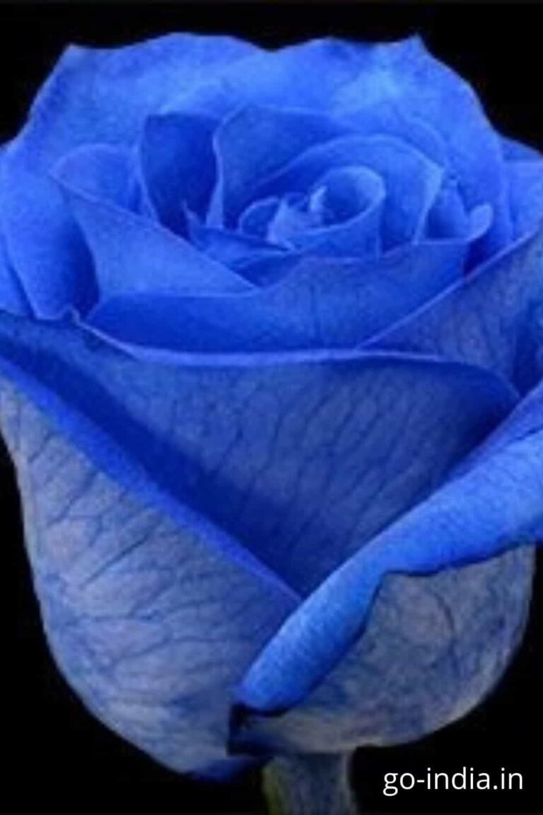 blue rose good morning image