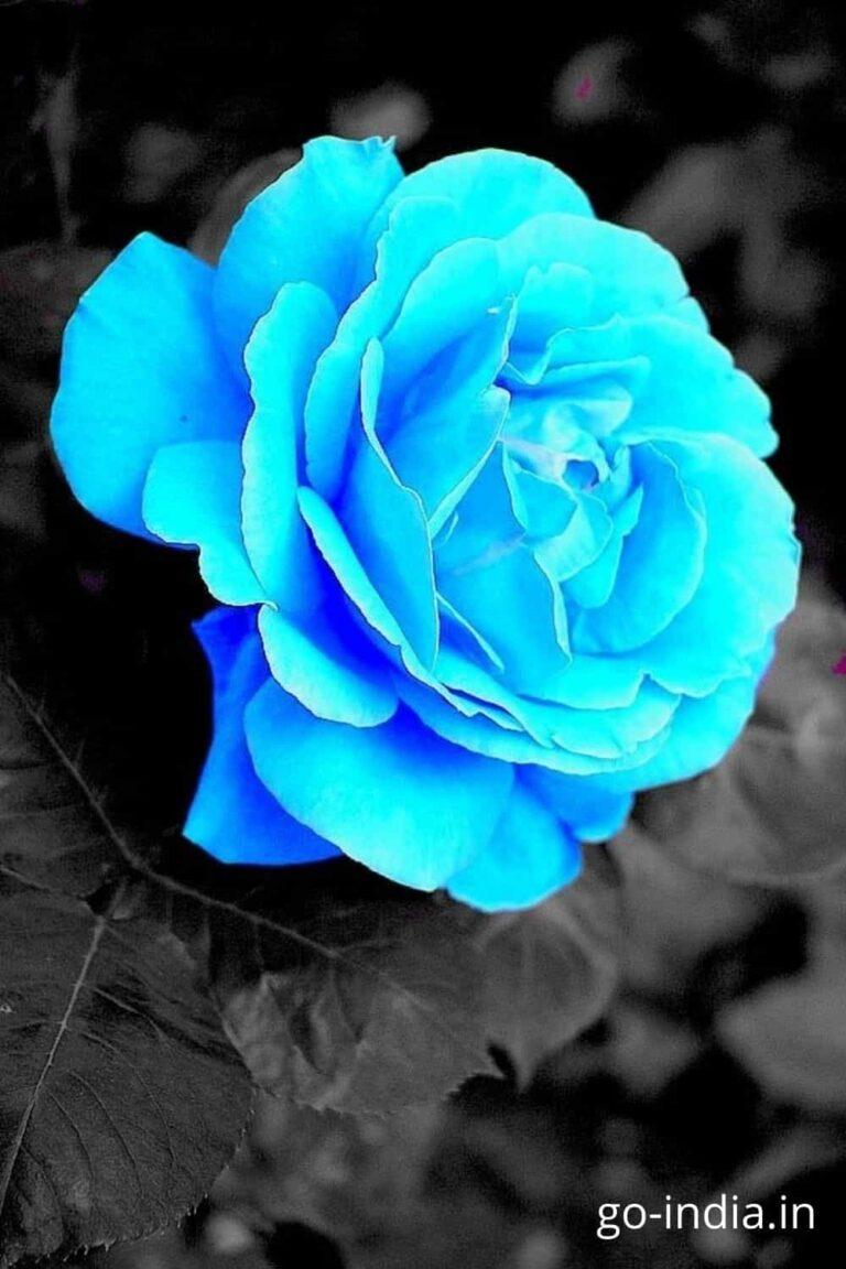 blue rose hd image