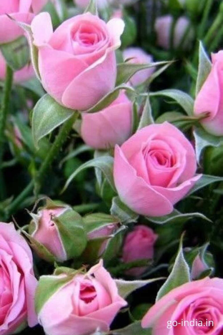 bunch of white and pink rose flowers