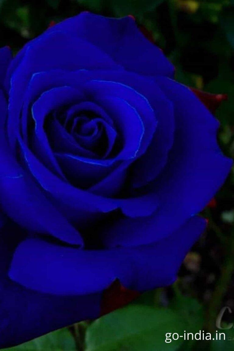 dark blue rose pic