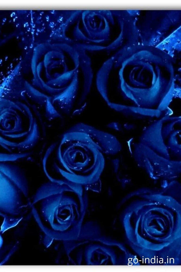 dark blue rose wallpaper