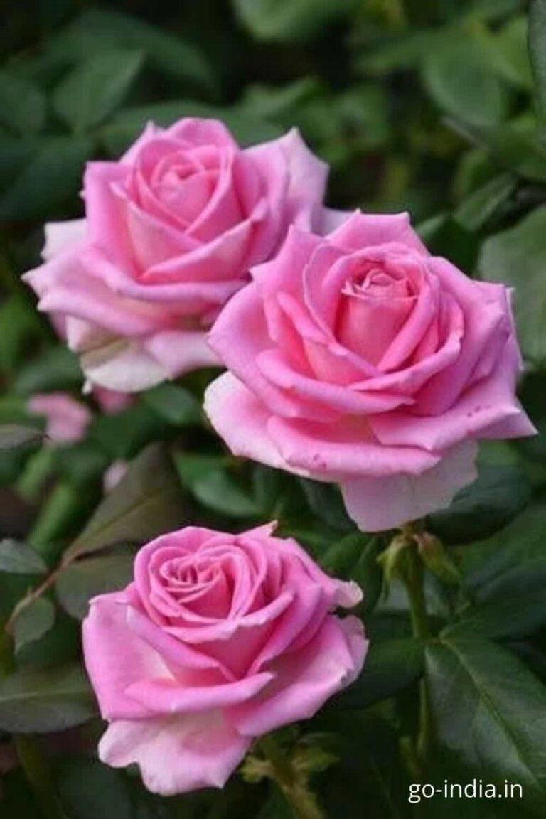 epic image of pink rose free download