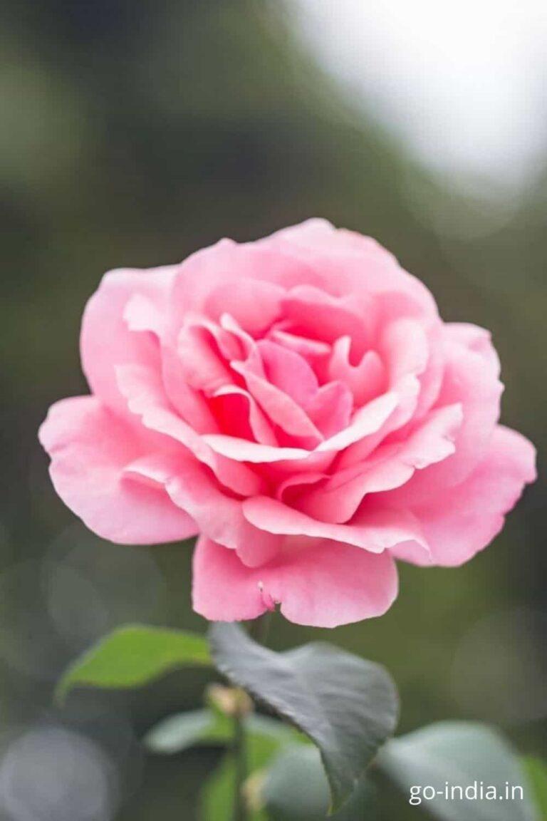 flowers rose pink