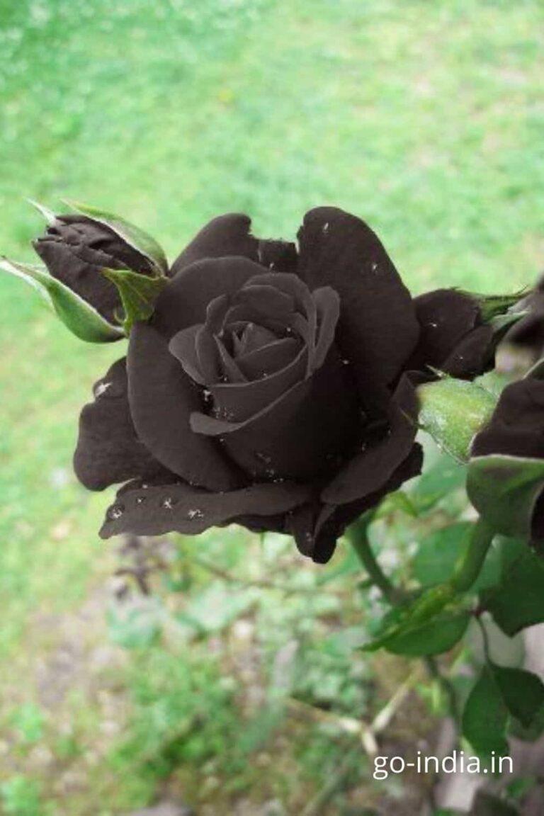 free download black rose wallpaper