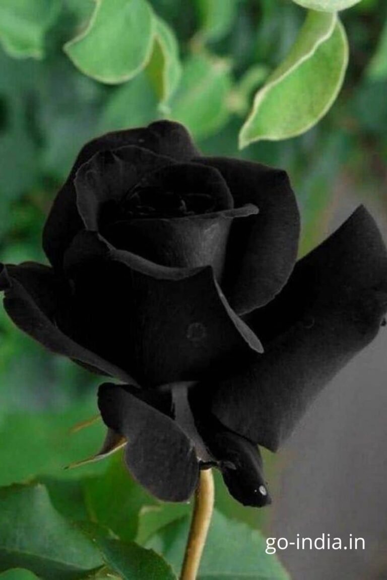 free download pic of black rose