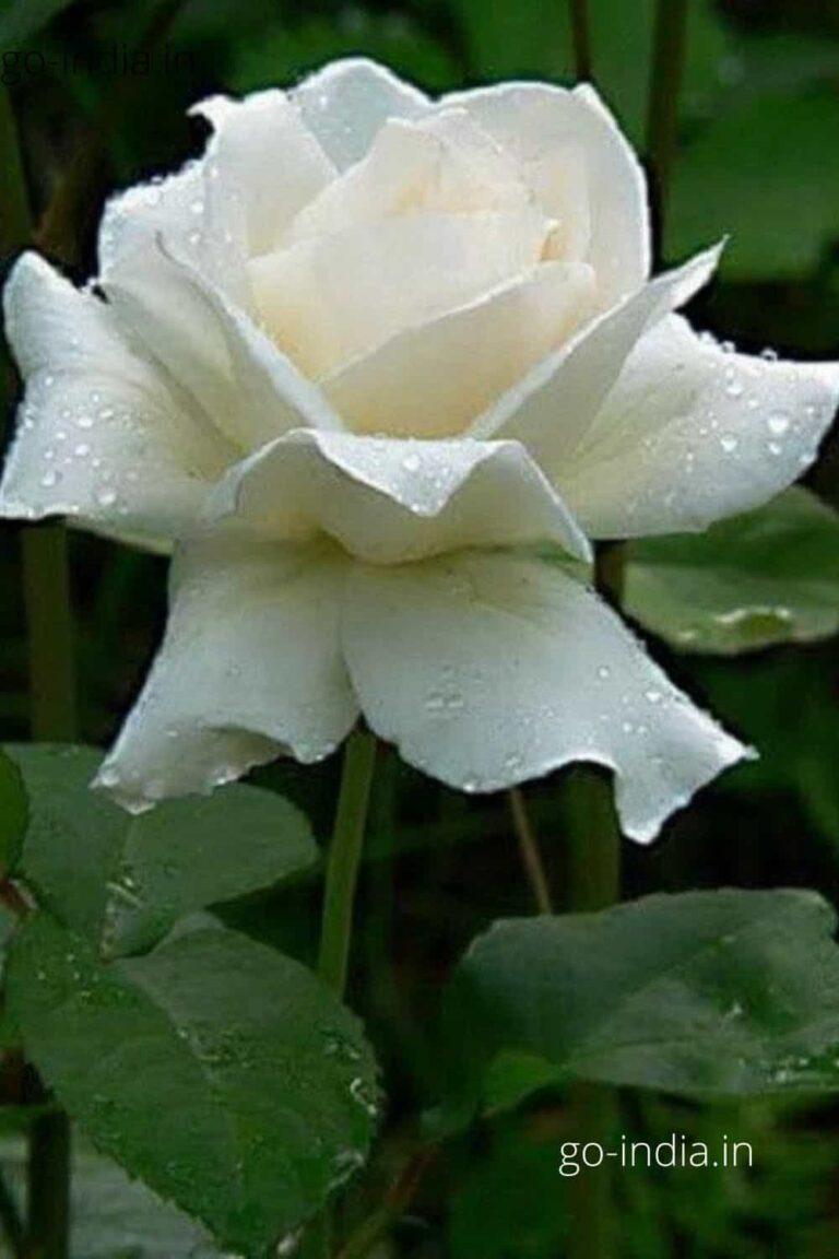 free download white rose image