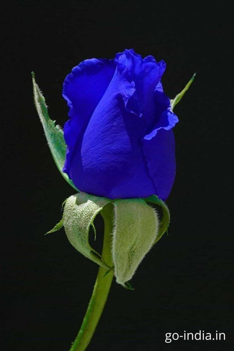 full hd blue rose wallpaper