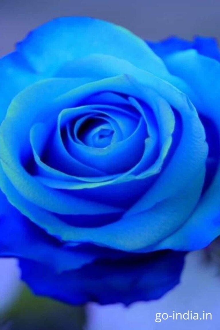 happy blue rose