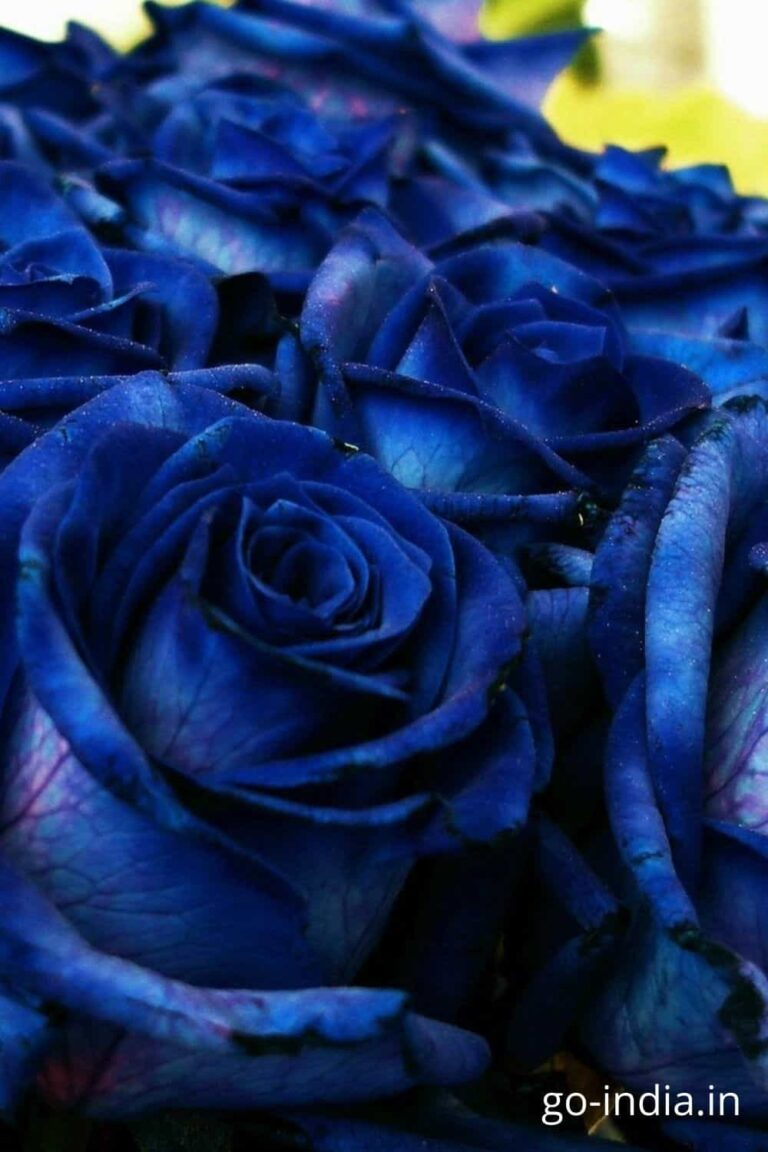 hd blue rose wallpaper