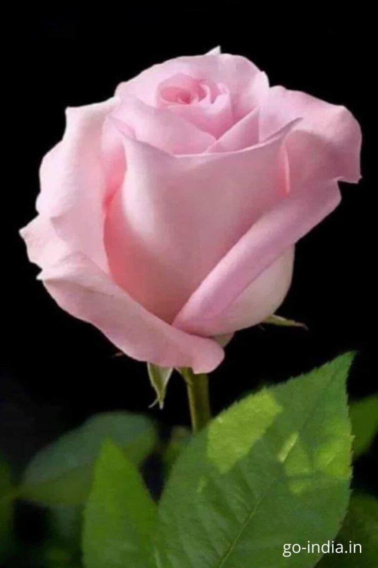 image of pink rose in the standing position