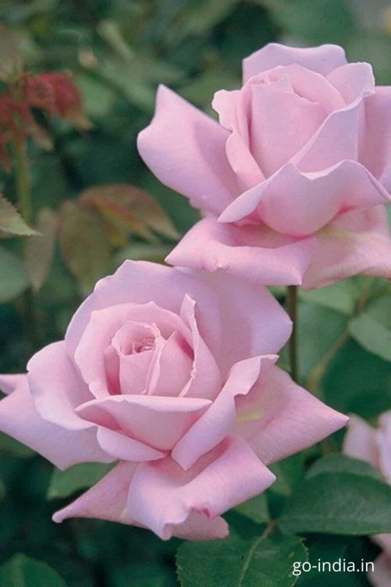 light pink rose image free download