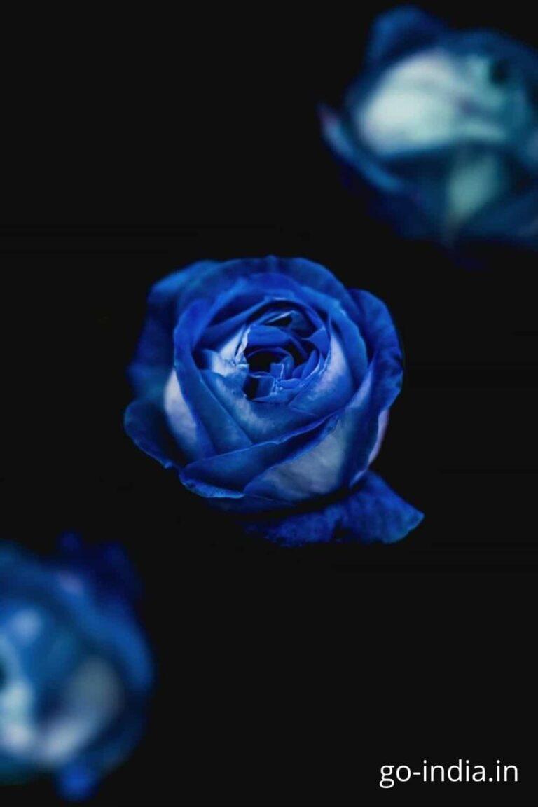 lovely blue rose wallpaper
