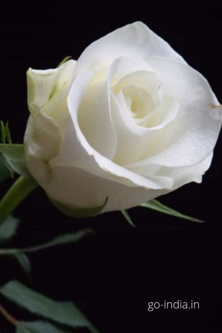 lovely HD quality white rose image