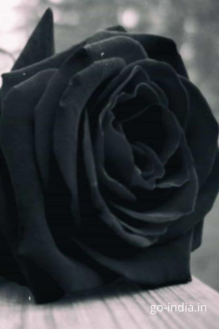 lovely black rose wallpaper