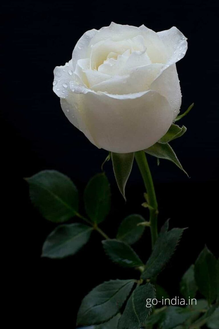 lovely pic of white rose