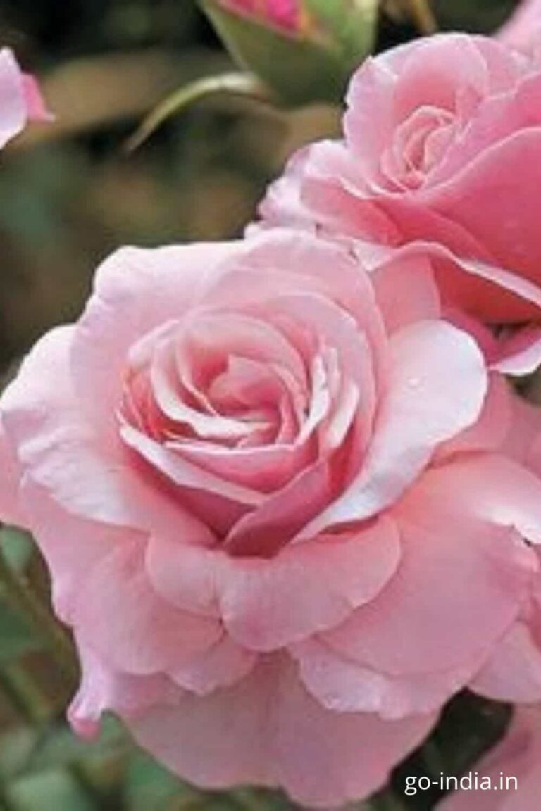 lovely picture of pink rose free download