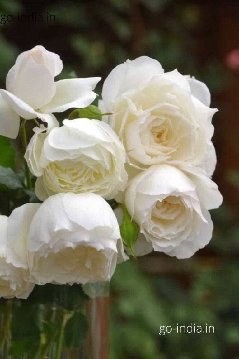 many white rose in one wallpaper