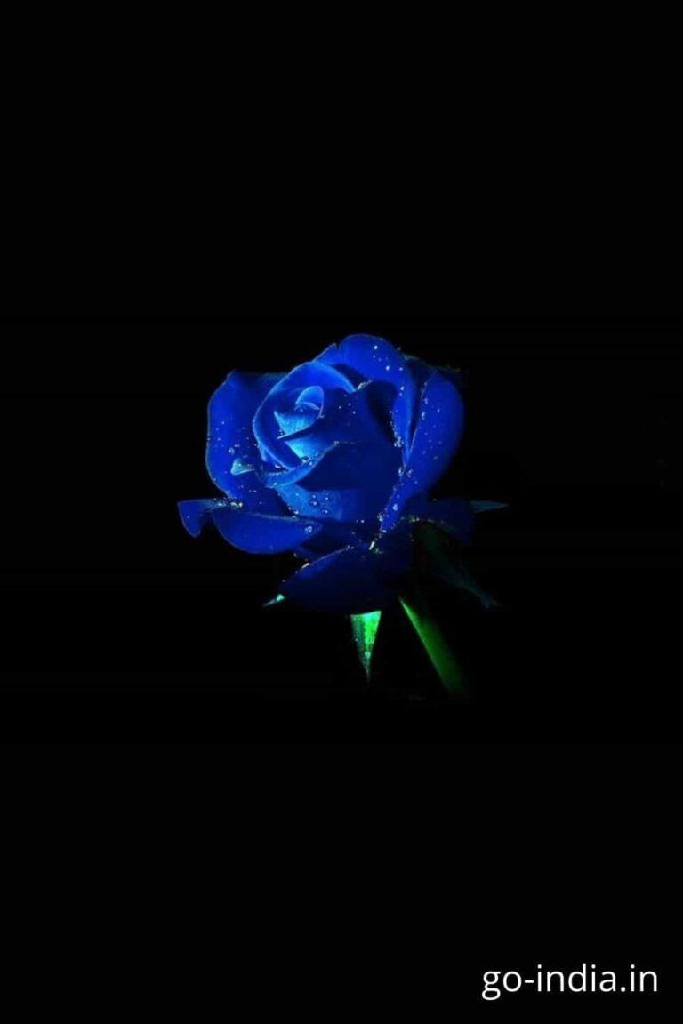 night blue rose