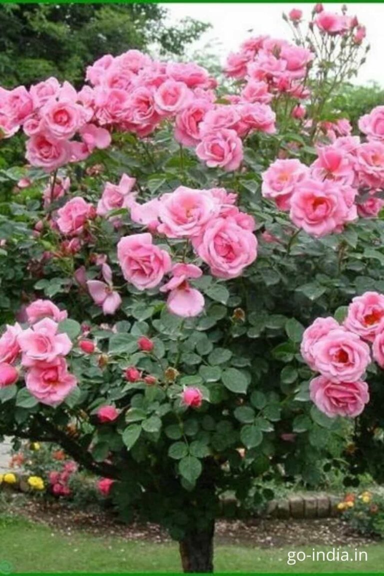 pic of beautiful pink roseon the tree