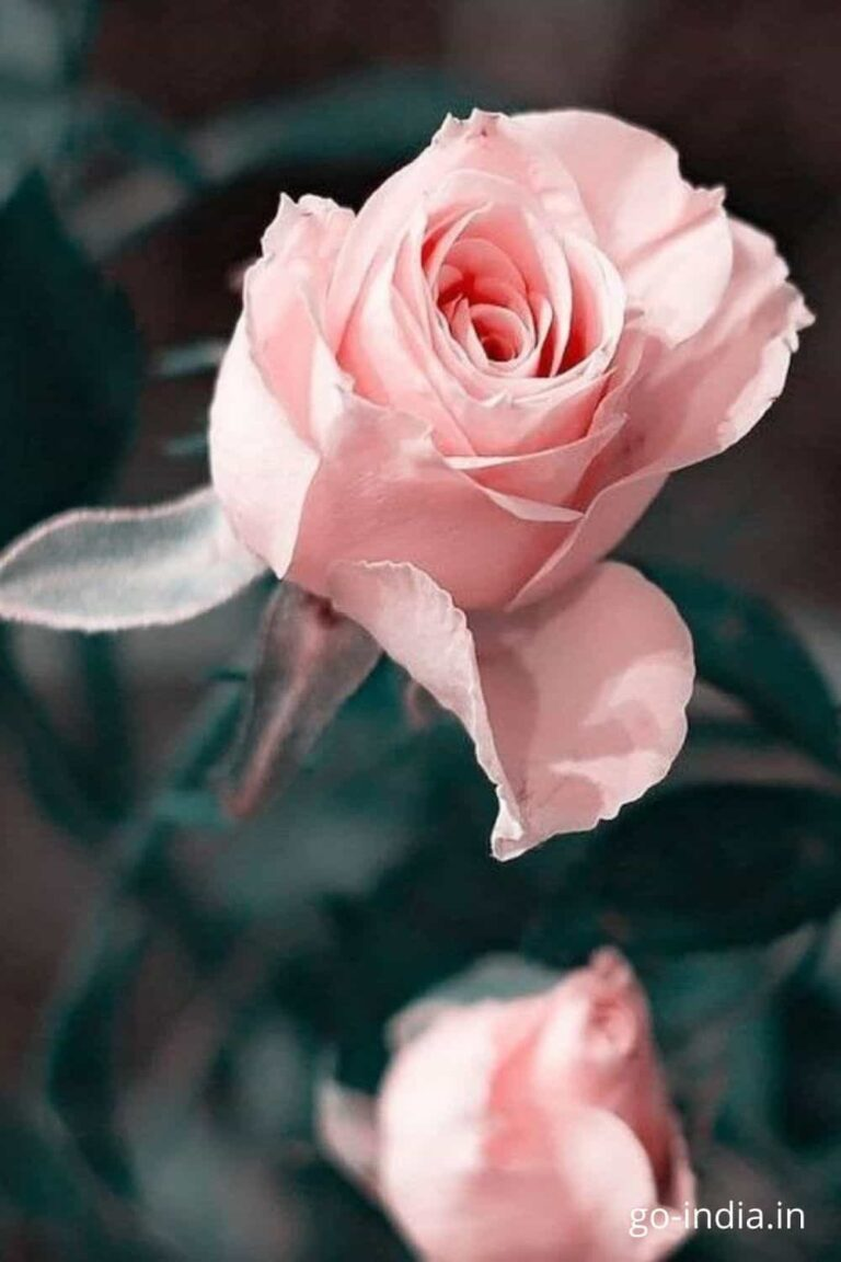 pic preety of preety pink rose image