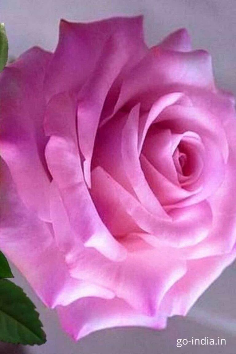 pictures of pink roses