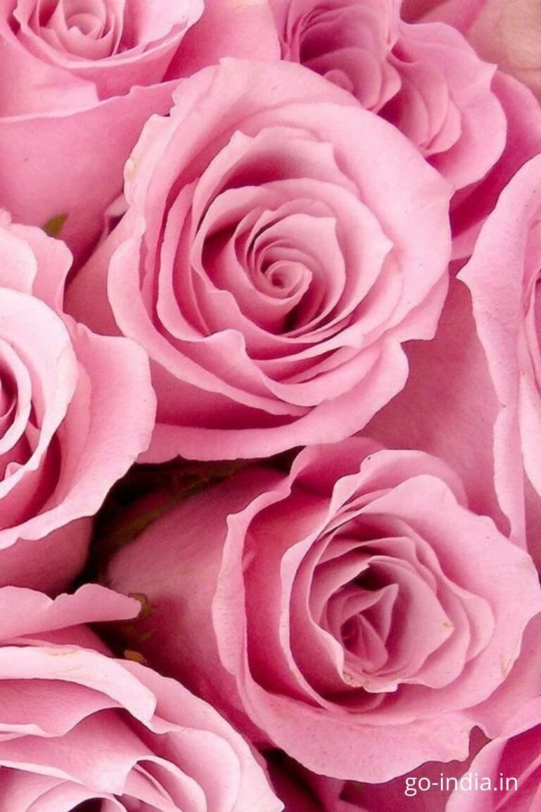 pink colour rose