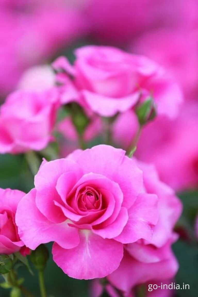 pink rose colour images