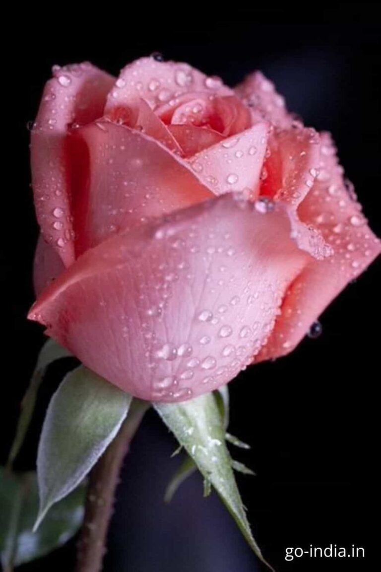 pink rose flowers images free download