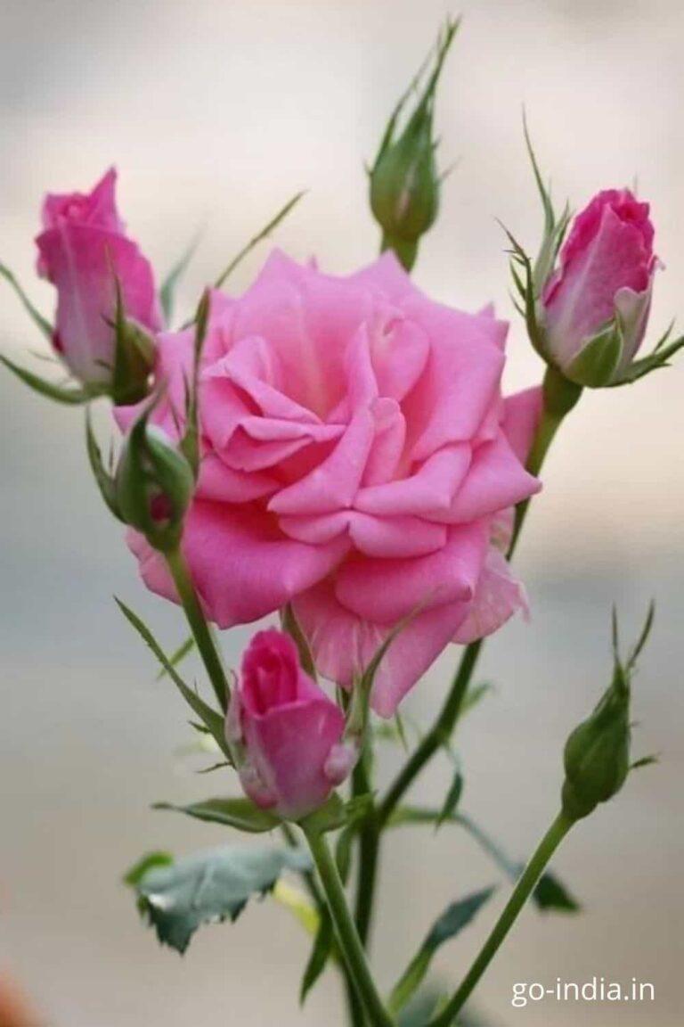 pink rose hd