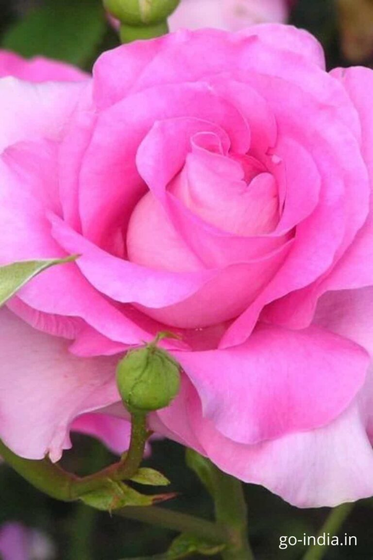 pink rose image in HD quality free download