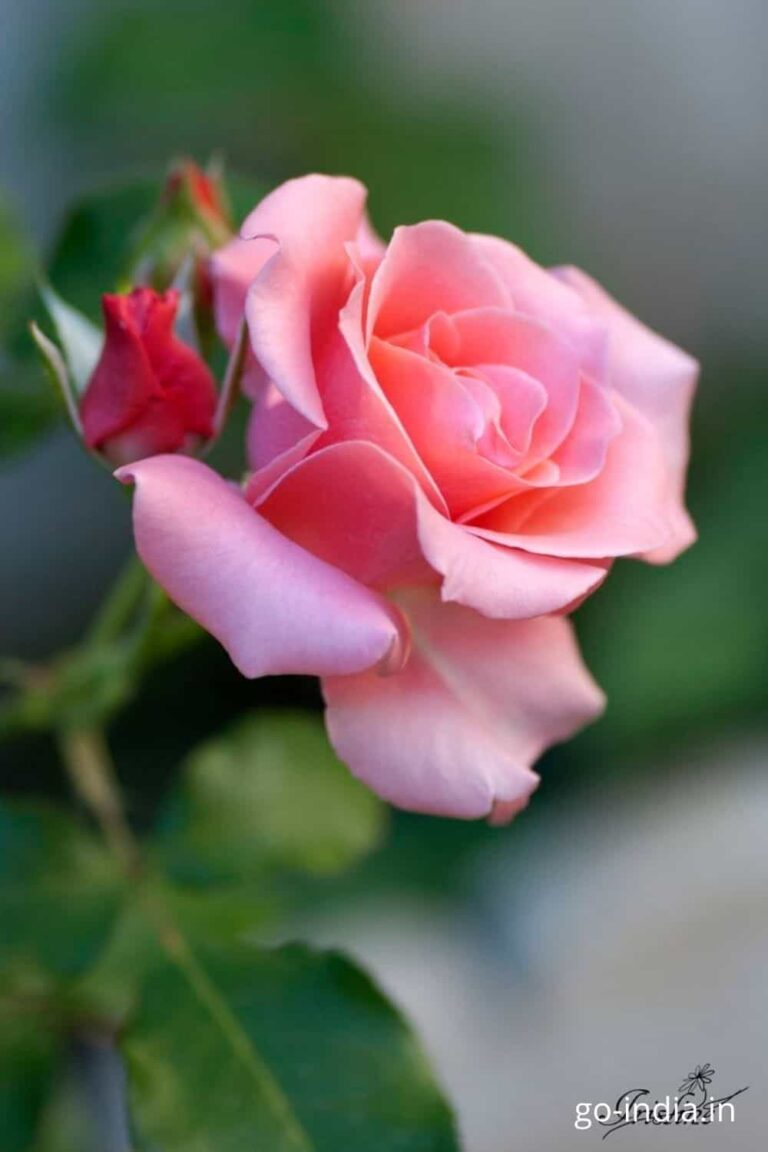 pink rose image with a blomming pink rose