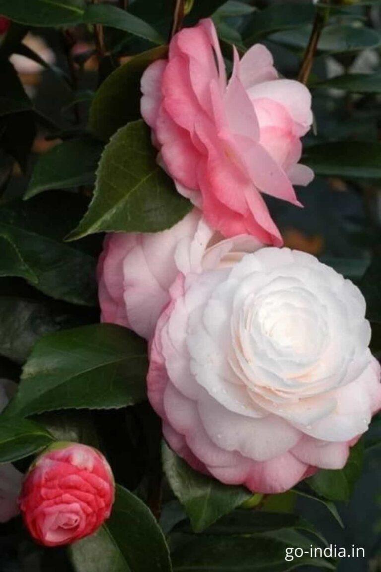 pink rose image with white rose image