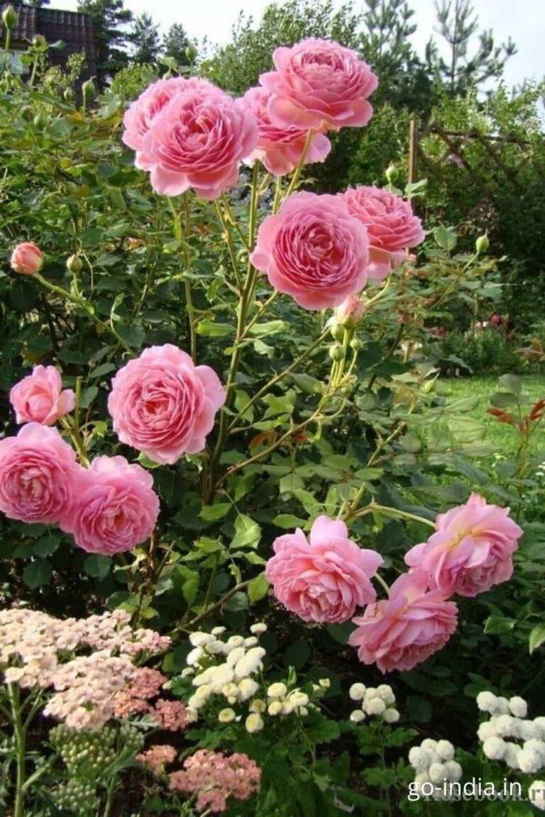 pink rose images download