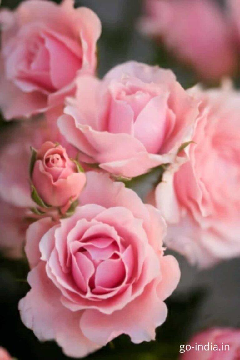 pink rose images for facebook