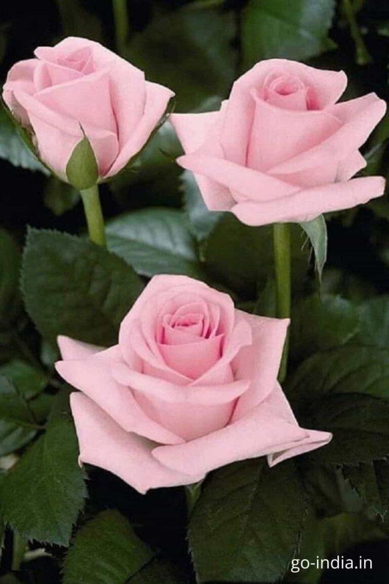 pink rose images for instgram