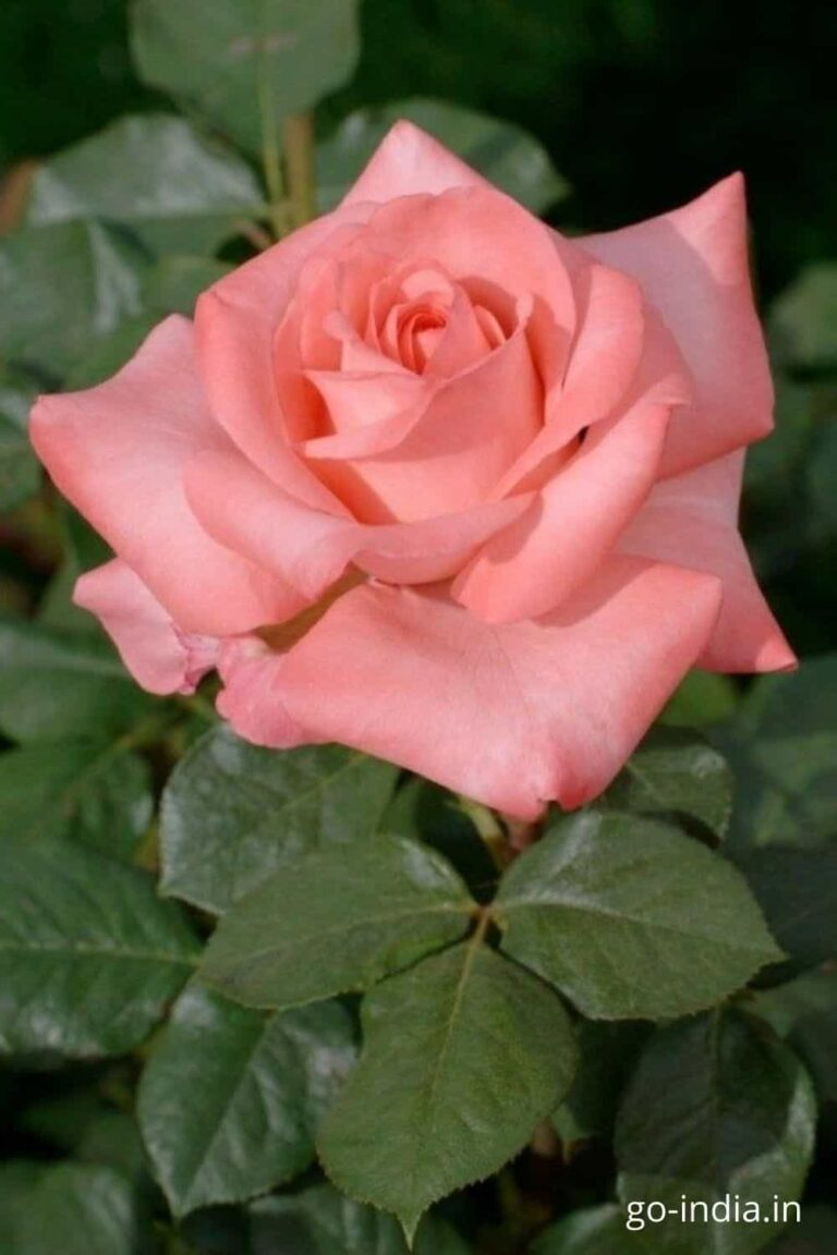 pink rose images for whatsapp