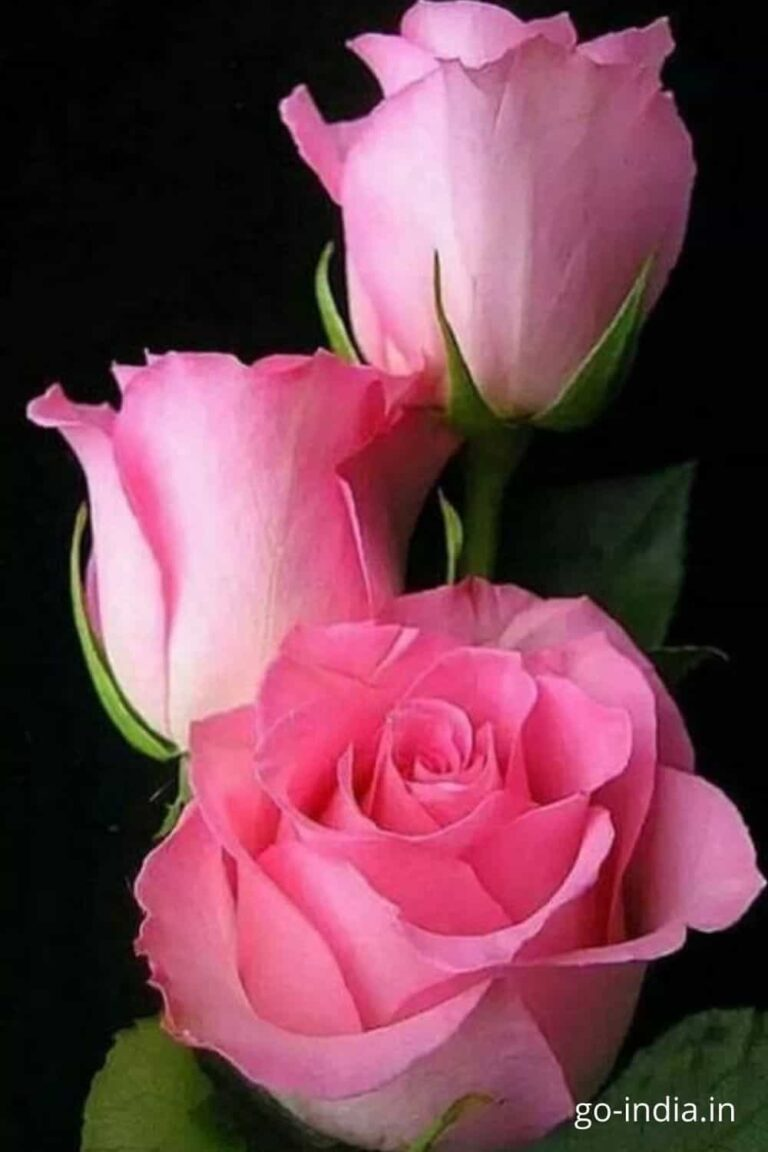pink rose images for whatsapp status