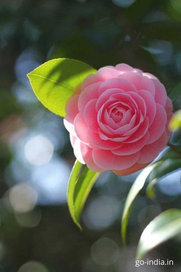 pink rose images free download