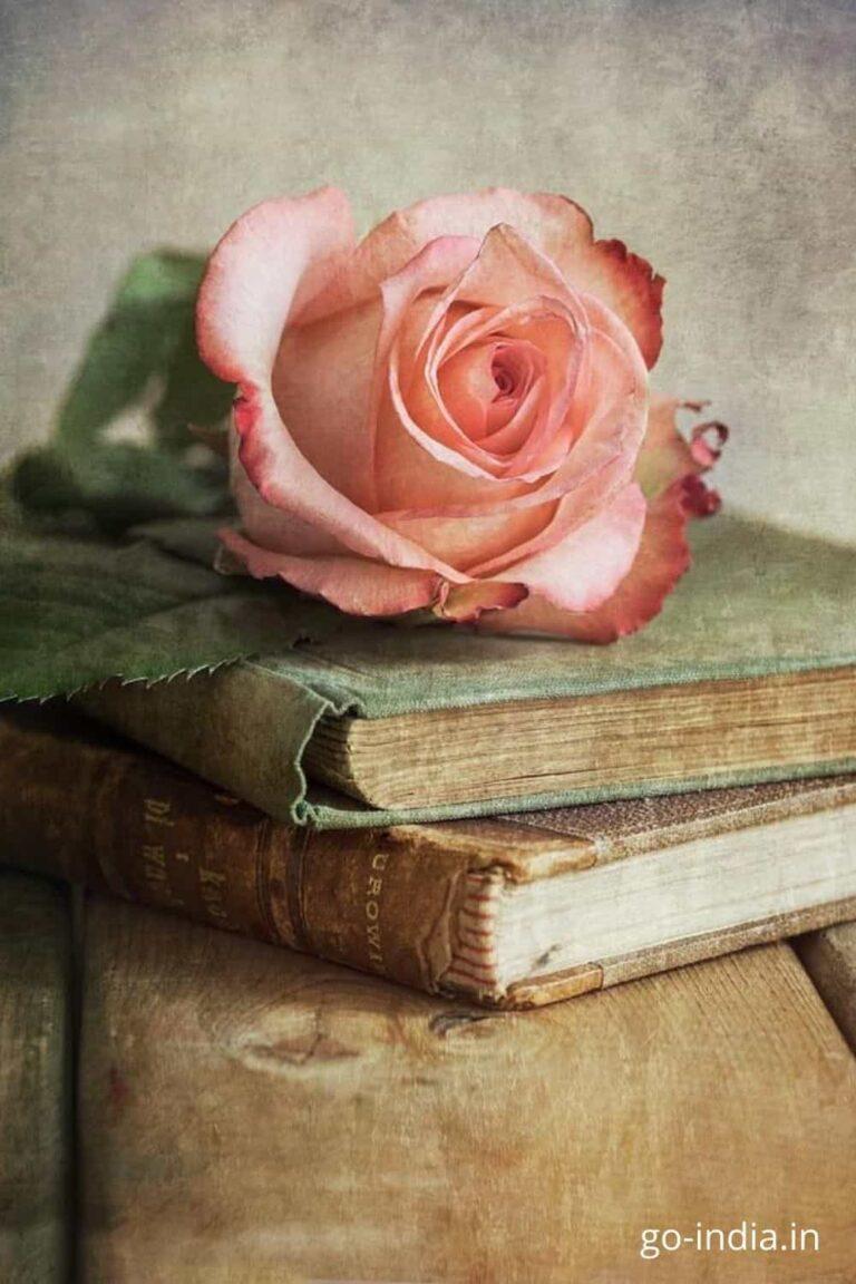 pink rose images photos