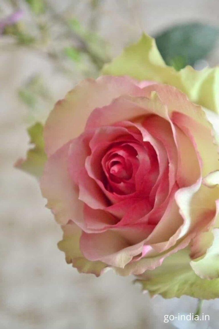 pink rose images wallpaper