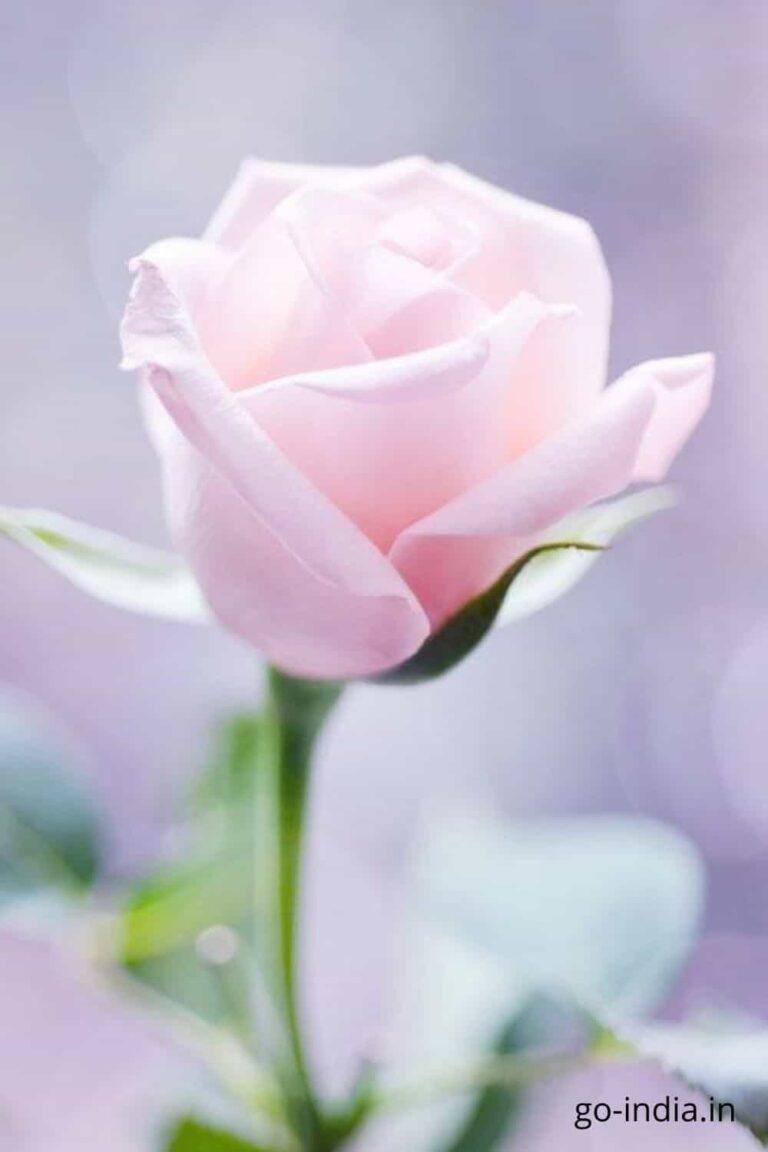 pink rose pics