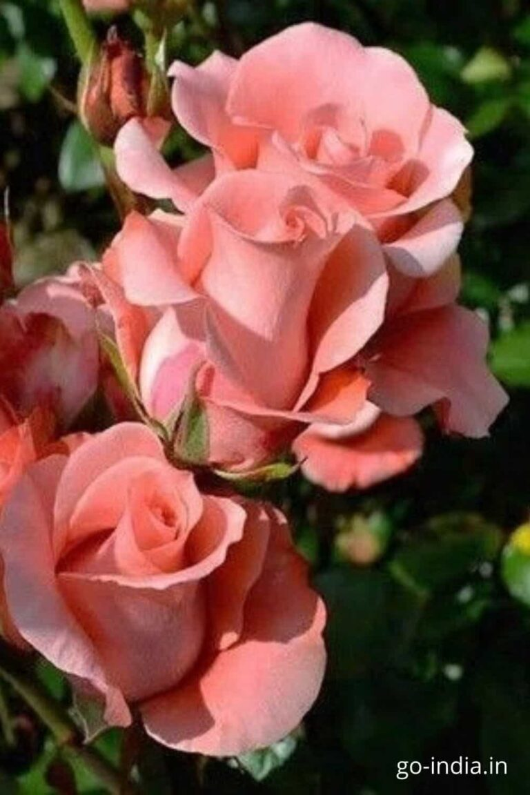 pink roses images