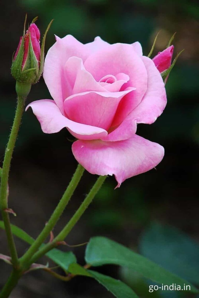pink roses images hd