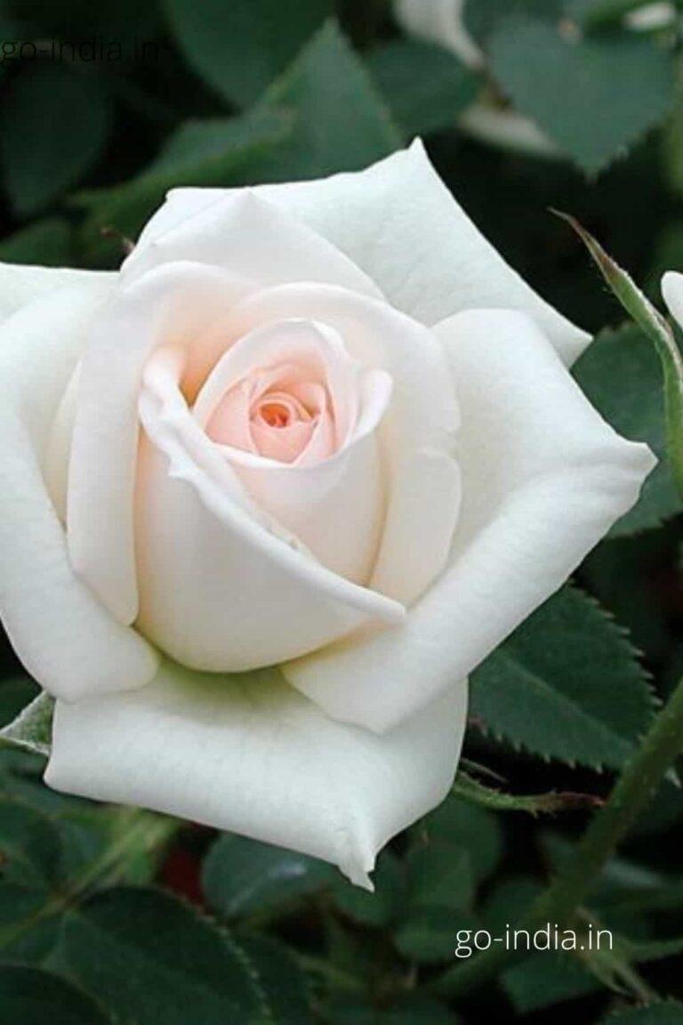 preety white rose