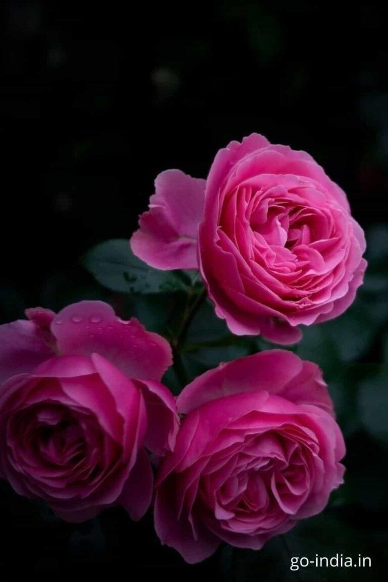 three dark pink rose in one walpaper free download